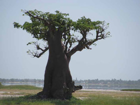 Le Pain de Singe du Baobab