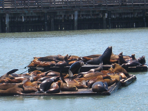 Sea Lions at Pier 39 (San Francisco, California, USA)