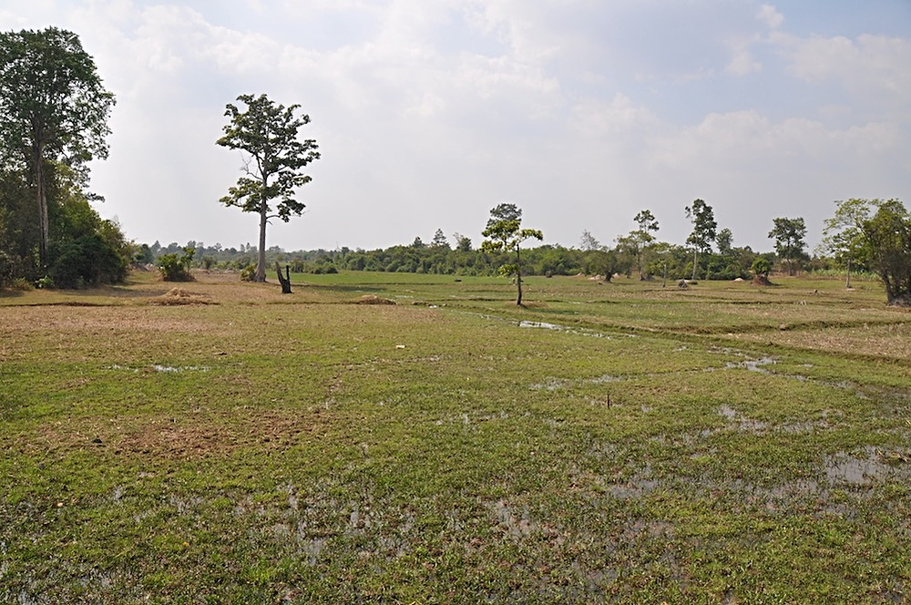A Cambodian Rice Paddy Field