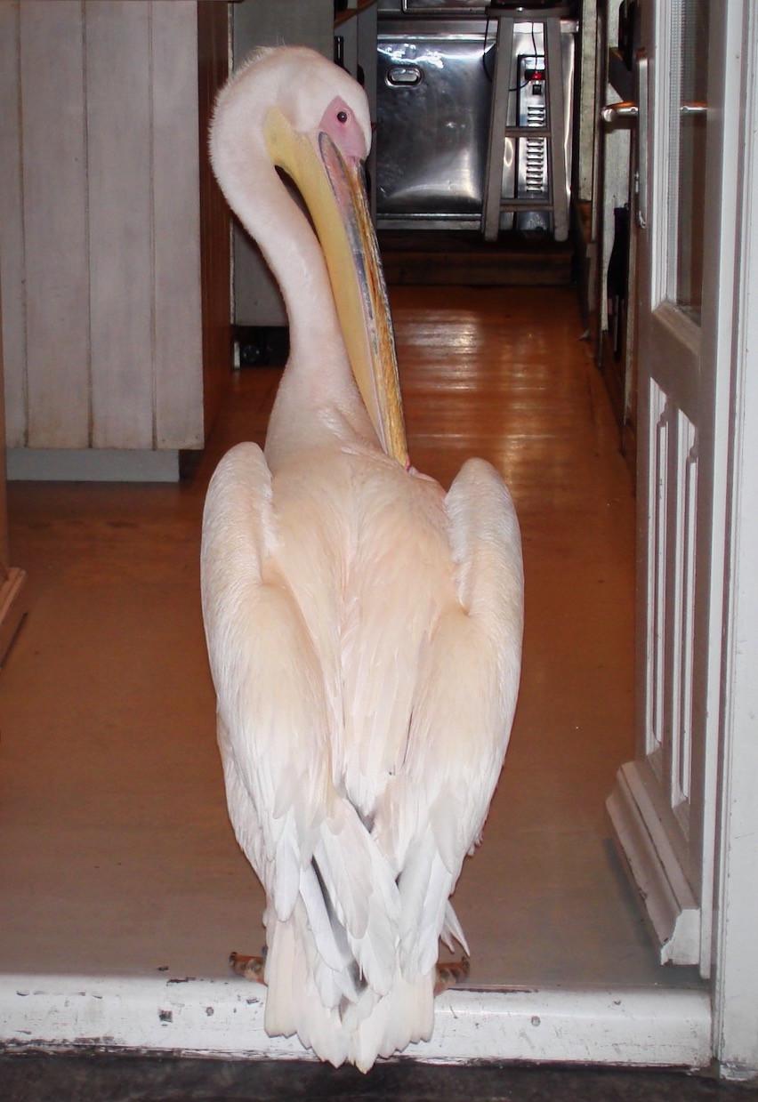 Pelican in Mykonos (Greece)