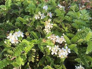 Hawaii native plants-3.jpg