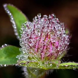 Clover flower bejeweled with morning dew