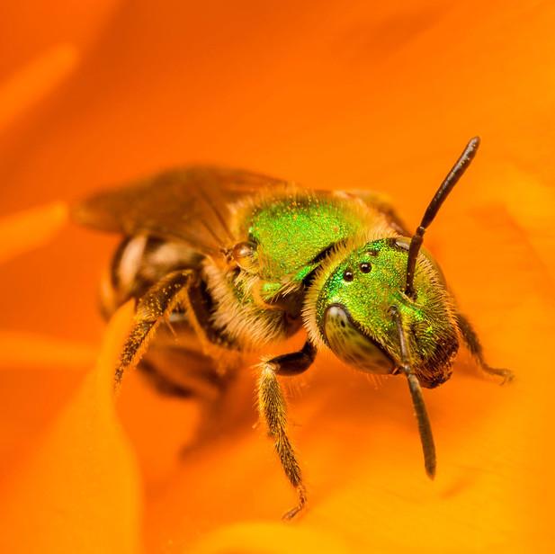 Green sweat bee on California poppy