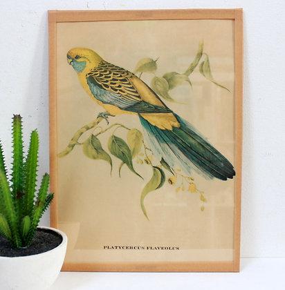 Lithographie Perruche John Gould