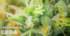 CBDA_Cannabinoids_101.jpg