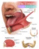 The Tongue, Origins & Insertions