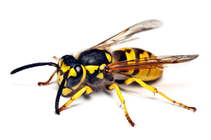 Wasps are coming!