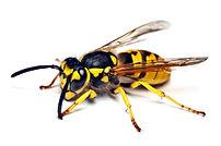 Wasps Cardiff