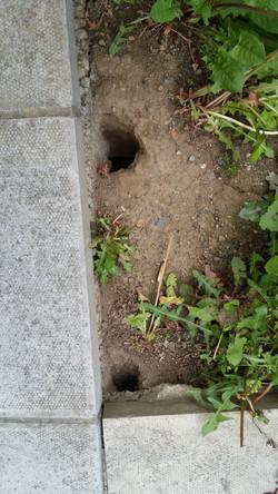 Rat burrows