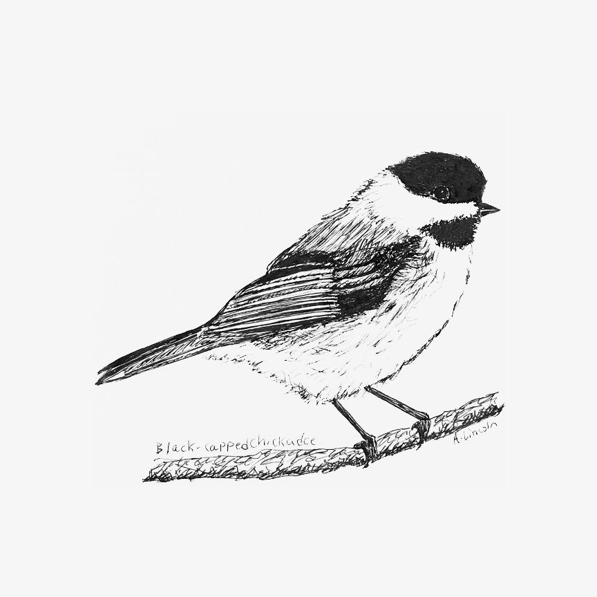 black capped chickadee 2.jpg