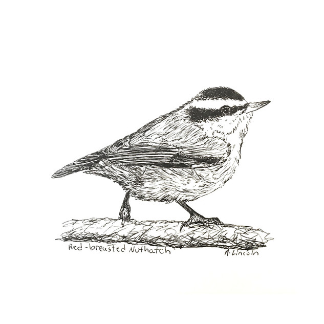 red breasted nuthatch 2.jpg