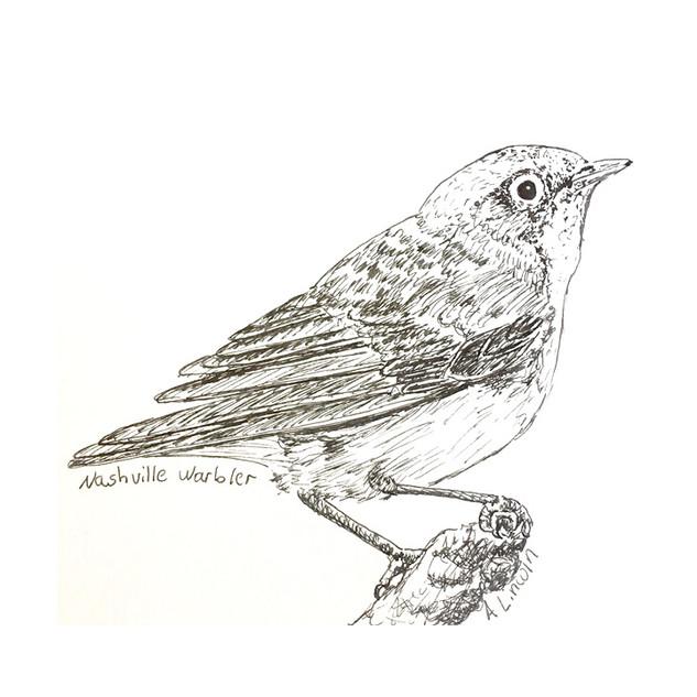 nashville warbler 2.jpg