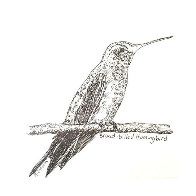 broad billed humingbird 2.jpg