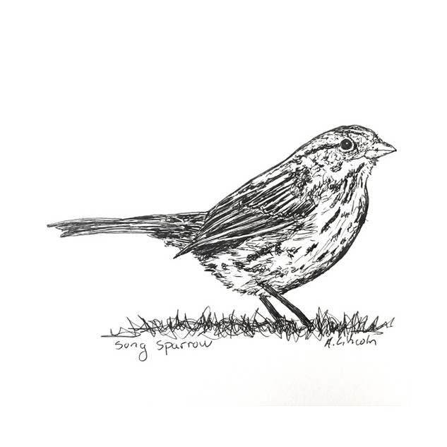 song sparrow 2.jpg