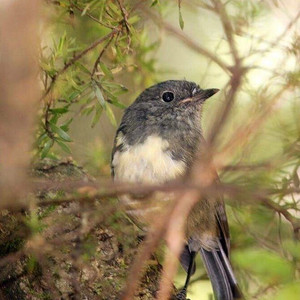 NZ South Island Robin, Canaan Downs