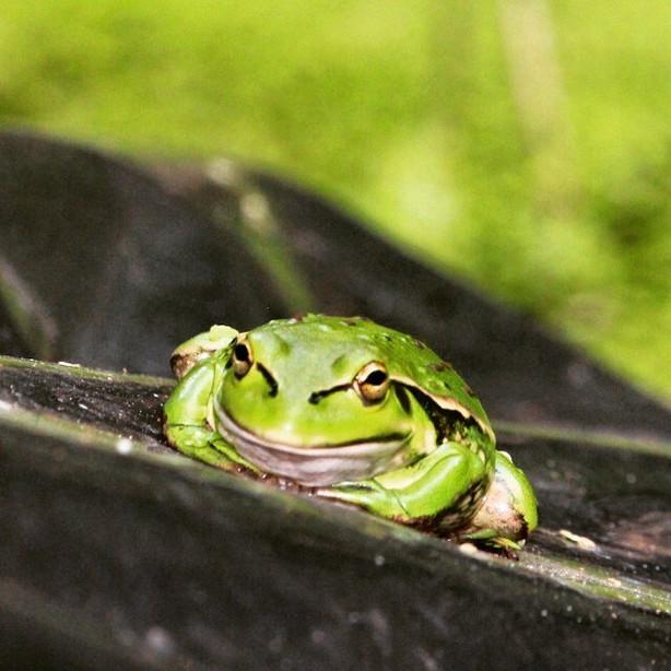 Golden Bell Frog, Little River