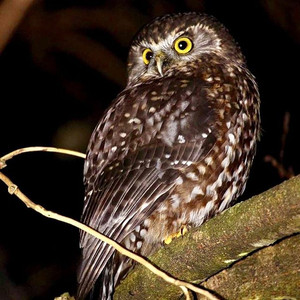 Ruru / Morepork, Little River