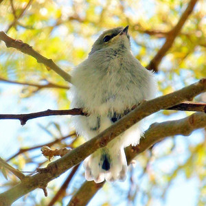 NZ Riroriro / Grey Warbler Chick