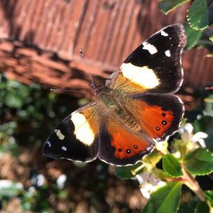 NZ Yellow Admiral Butterfly