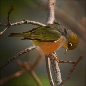 NZ Tauhou / Waxeye Bird