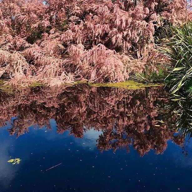Pink Smoke Tree, Motukarakara