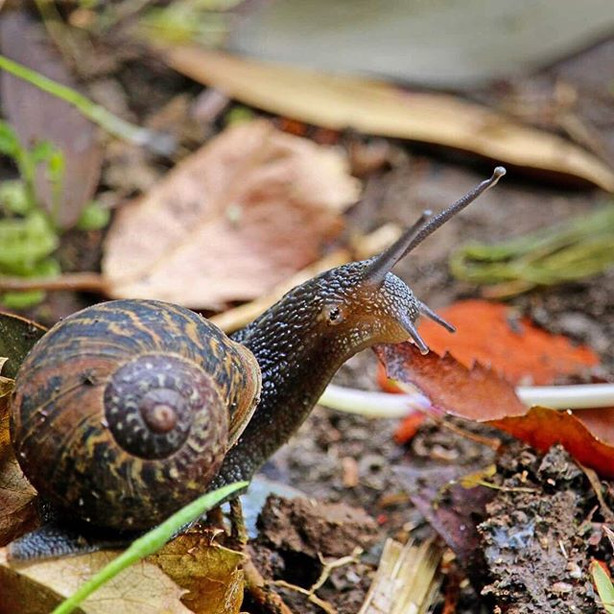 Snail, Little River