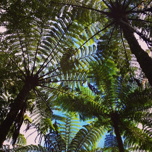 NZ Mamaku Ferns