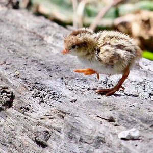 Californian Quail Chick