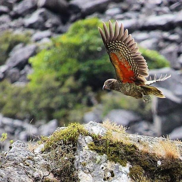 NZ Kea, Arthurs Pass