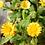 Thumbnail: Calendula Seeds