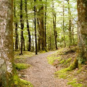 NZ Beech Forest, Maruia