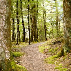NZ Beech Forest, Maruia