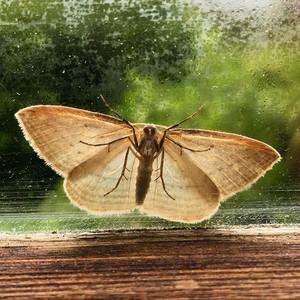 Moth, Little River