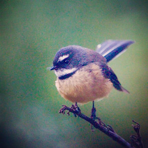 NZ Piwakawaka / Fantail, Little River