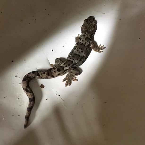 NZ Pacific Gecko, Little River