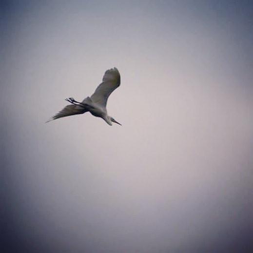 Kotuku - White Heron