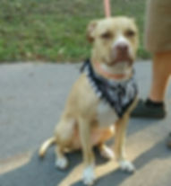 995 found dog tan pit Rachel Lemley.JPG