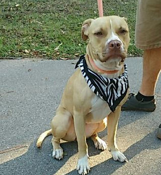 995 found dog tan pit Rachel Lemley.JPG