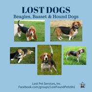 beagles - basset - hound dogs lost.jpg