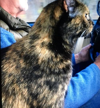 Feenix - lost cat - Tina Haase - tortois