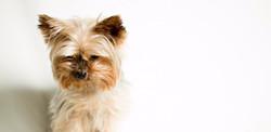 yorkshire terrier_edited