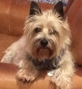 1470 Radar Lost dog cairn terrier 34243.