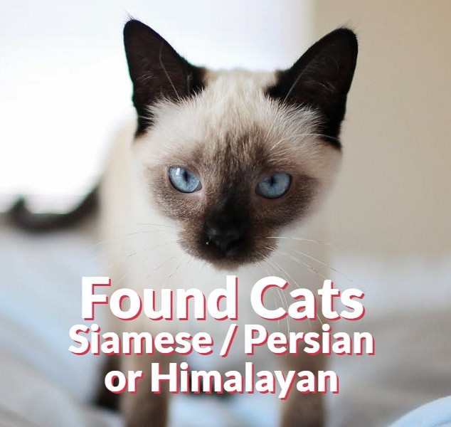 Found Cats - Siamese | Persian | Himilayan