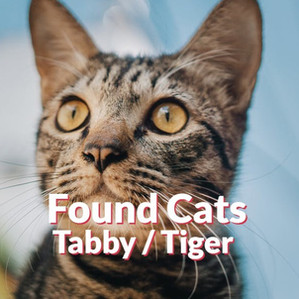 Found Cats - Tabby | Tiger