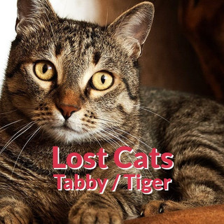 Lost Cats - Tabby | Tiger