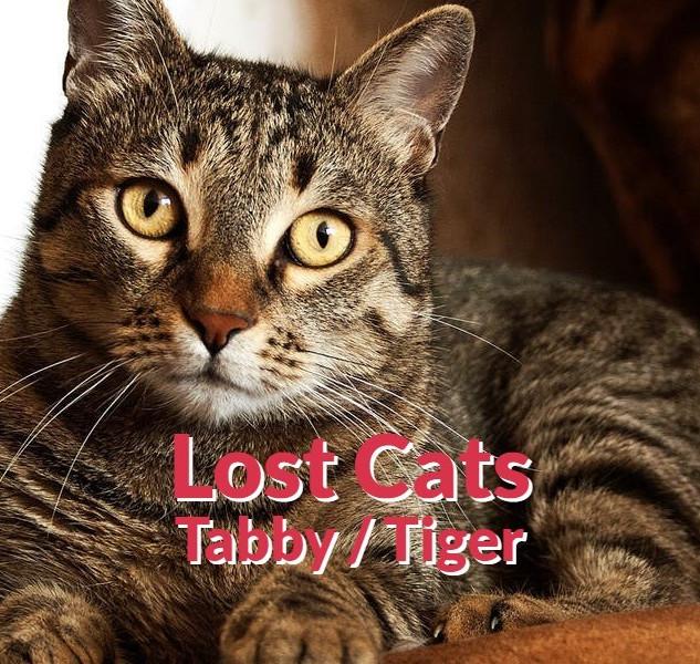 Lost Cats - Tabby | Tiger