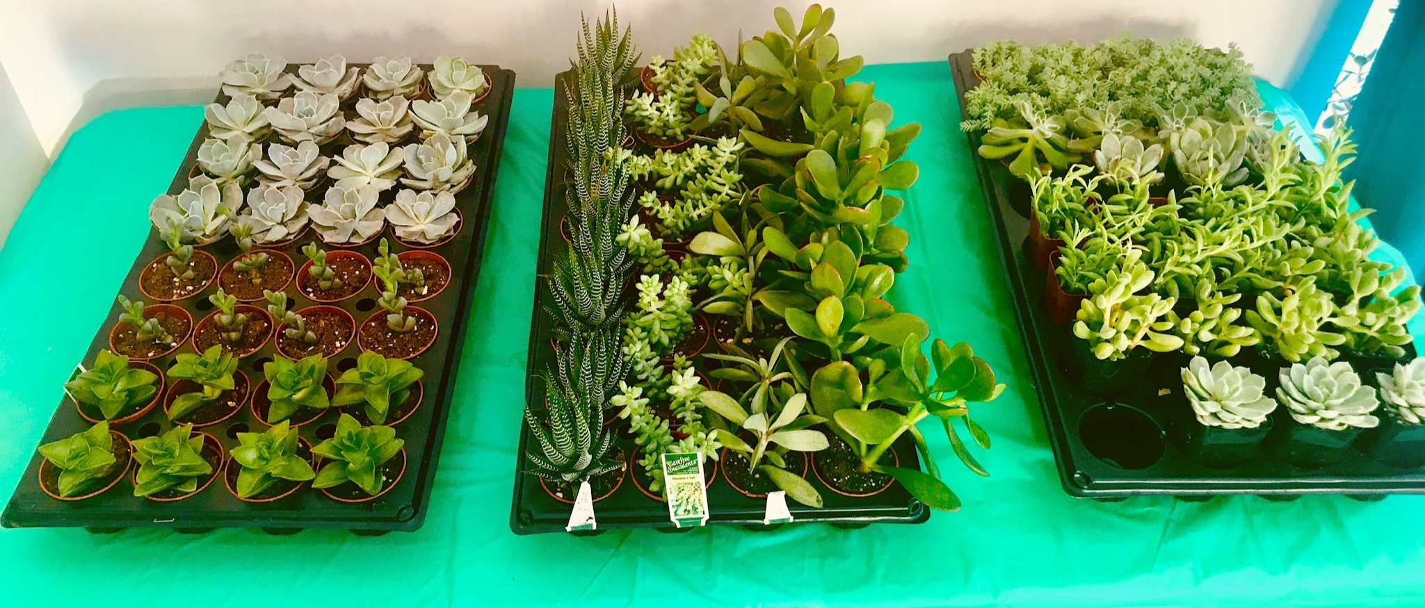 Lots of succulents to choose from