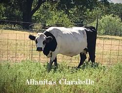 Allanita's Clarabelle