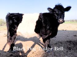 Black Dog Tinker Bell