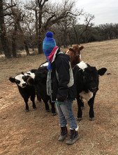 Herding cattle pied piper style